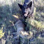 Deteccion de zorro